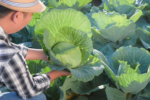 Folhas a partir de 20 centímetros já podem ser colhidas e comercializadas. (Fonte: Shutterstock/Somchai_Stock/Reprodução)