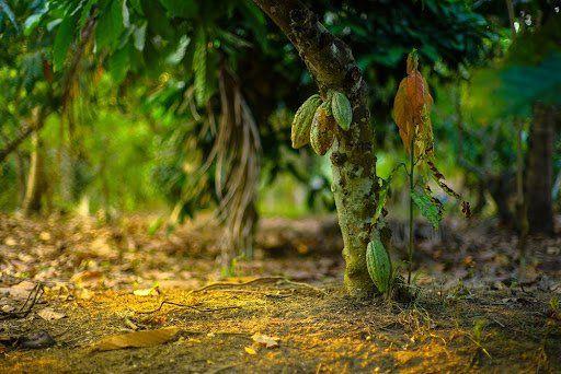 CPR verde permite ao agricultor ganhar com a preservação de árvores e com produção agrícola ao mesmo tempo. (Fonte: Shuttestock/raditya/Reprodução)