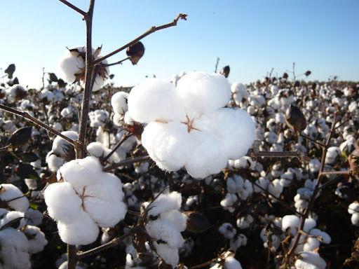 A cotonicultura brasileira se recuperou da infestação do bicudo-do-algodoeiro, que devastou lavouras por quase duas décadas em terras brasileiras. (Fonte: Amipa/Reprodução)