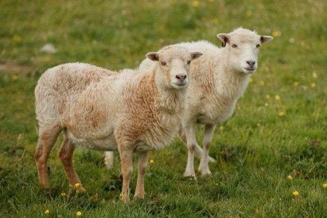 ovci.jpg