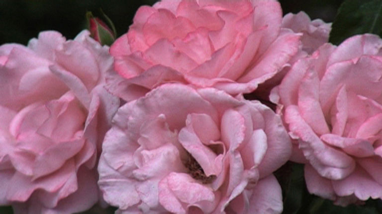 Rose and Jasmine