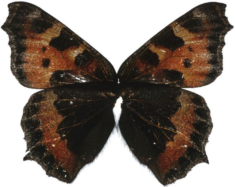Peidhleacán solais (Butterfly Light)