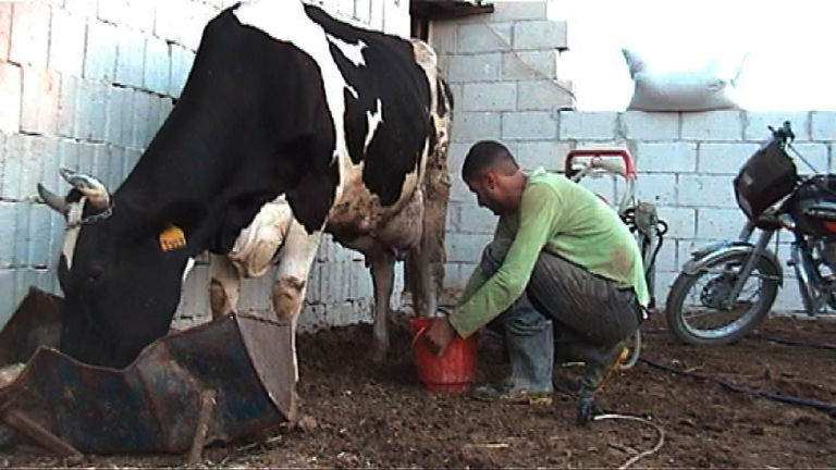 The Cow Farm