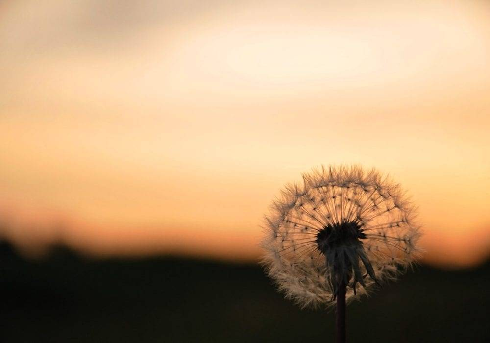 Fun Summer Activities: a dandelion full of seeds in a field at sunset