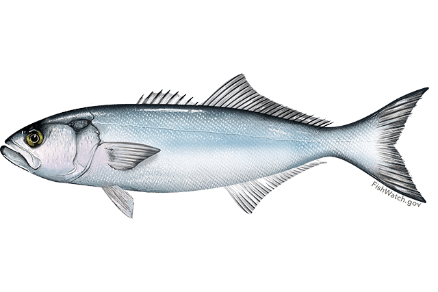 THE NOAA has declared that bluefish are overfished and set an new interim catch limit for East Coast anglers. / COURTESY NATIONAL OCEANIC AND ATMOSPHERIC ADMINISTRATION