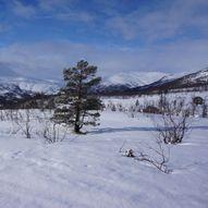 Bårdsgardskamben 1150 moh.
