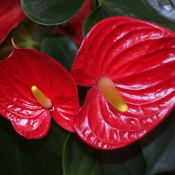 anthurium_cut_flowers_growing_manual_en