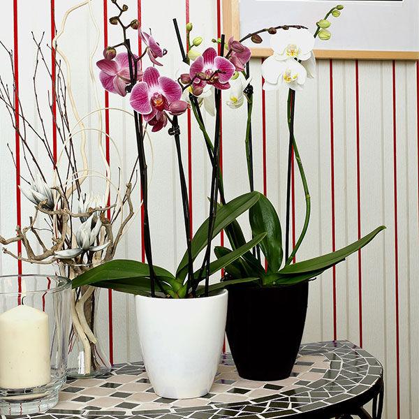 phalaenopsis_pot_plants_growing_manual_en
