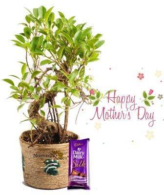 Nurturing Green S Shape Ficus Bonsai Combo
