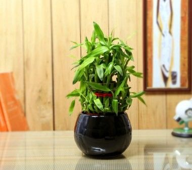 Nurturing Green Lucky Bamboo 3 layer  Big indoor plant