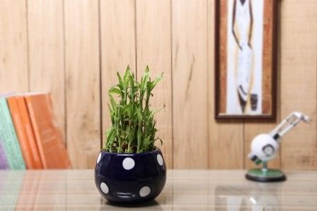 Nurturing Green Lucky Bamboo 3 layer indoor plant