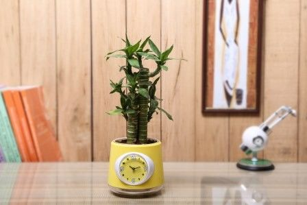Nurturing Green Cutlleaf Bamboo  Indoor Plant With Clock Pot