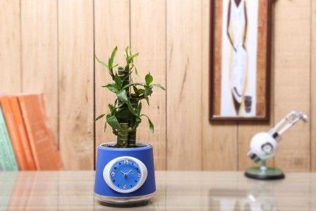 Nurturing Green Cutlleaf Bamboo  Indoor Plant With Clock Pot