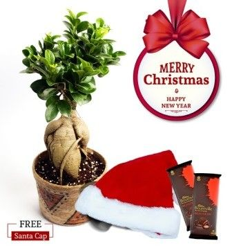 NG- Grafted Ficus Bonsai 2 Years Old  Christmas Combo with Free Santa Cap