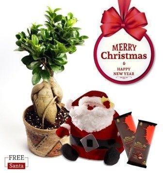 NG- Grafted Ficus Bonsai 2 Years Old Christmas Combo with Free Santa