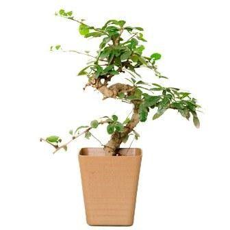 Nurturing Green S Shape Carmona Bonsai Plant