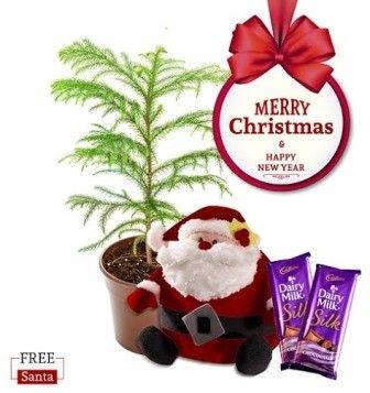 NG- Araucaria Plant Christmas Combo with Free Santa