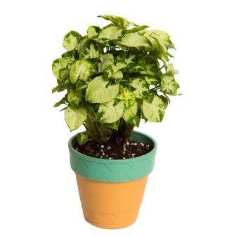 Nurturing Green L&L Syngonium Chilli Indoor Plant in Self Watering Planter
