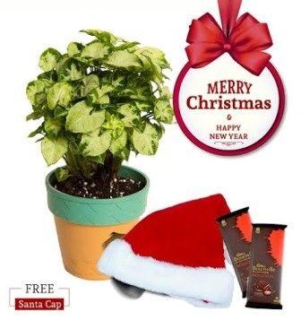 NG- L&L Syngonium Chilli Indoor Plant  Christmas Combo with Free Santa Cap