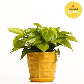 NG- Indoor Plant Oxycardium Ceramic Pot