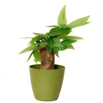 Nurturing Green Twisted Money Tree Indoor Plant