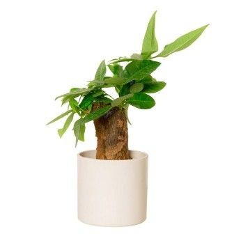 Nurturing Green Straight Money Tree Indoor Plant