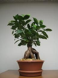 Grafted Ficus 5 Years Old