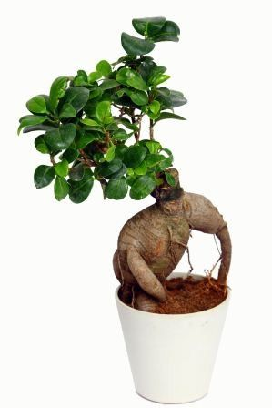 Nurturing Green Ficus 2 year Old-White Pot