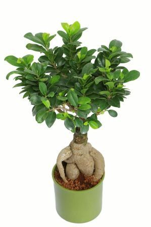 Nurturing Green Ficus 2 year Old Green Pot