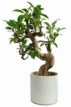 Nurturing Green S Shape Ficus 3 years Old