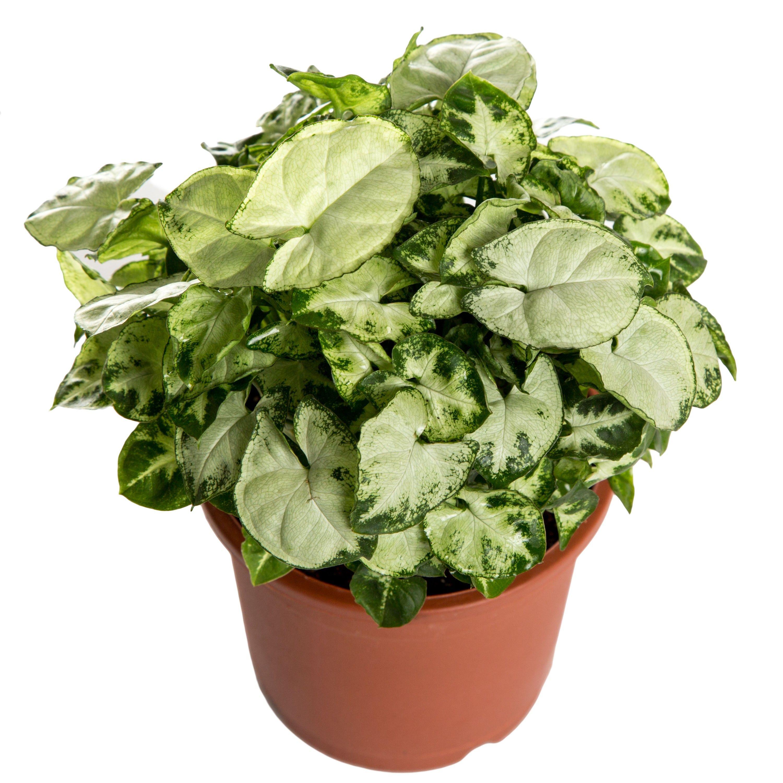 Nurturing Green Indoor Plant L&L Syngonium Chilli