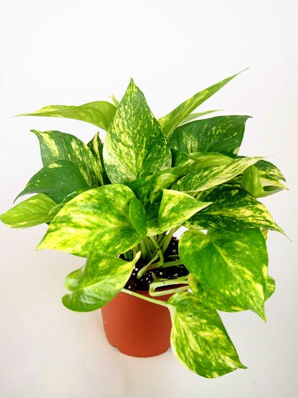 Nurturing Green Money Plant Hybrid Plastic Pot