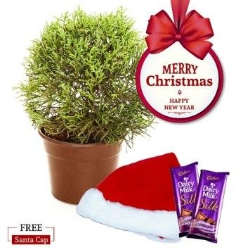 Nurturing Green Araucaria Plant Christmas Combo with Free Santa Cap