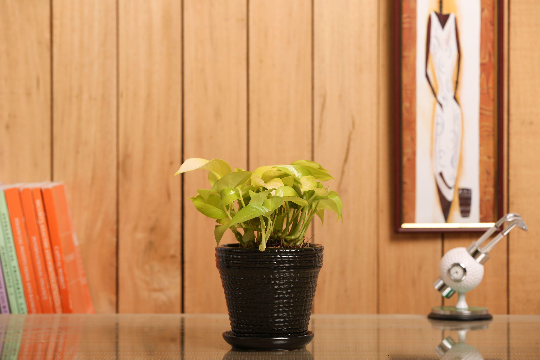 NG- Indoor Plant Golden Pothos Black Ceramic Pot