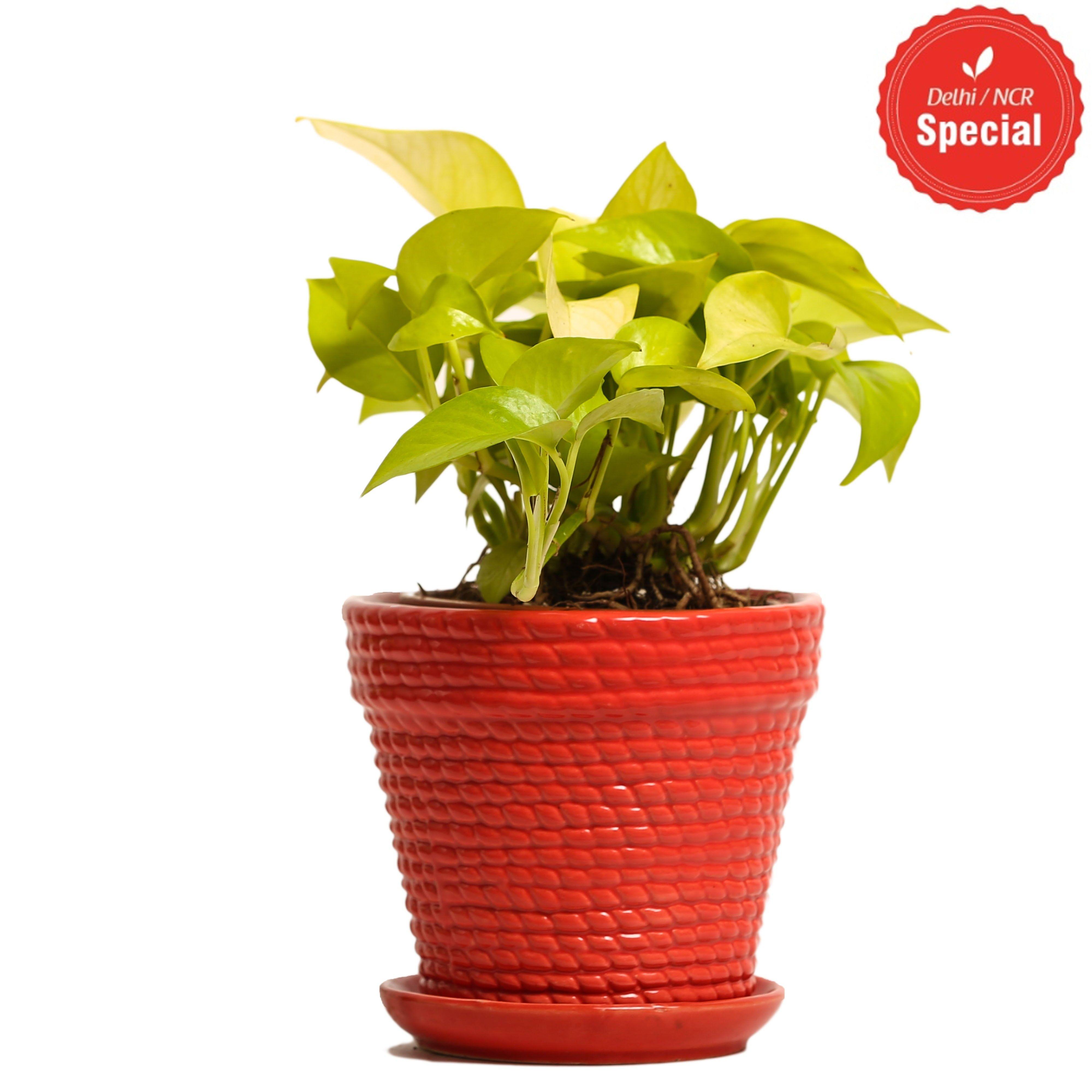 NG- Indoor Plant Golden Pothos Red Ceramic Pot