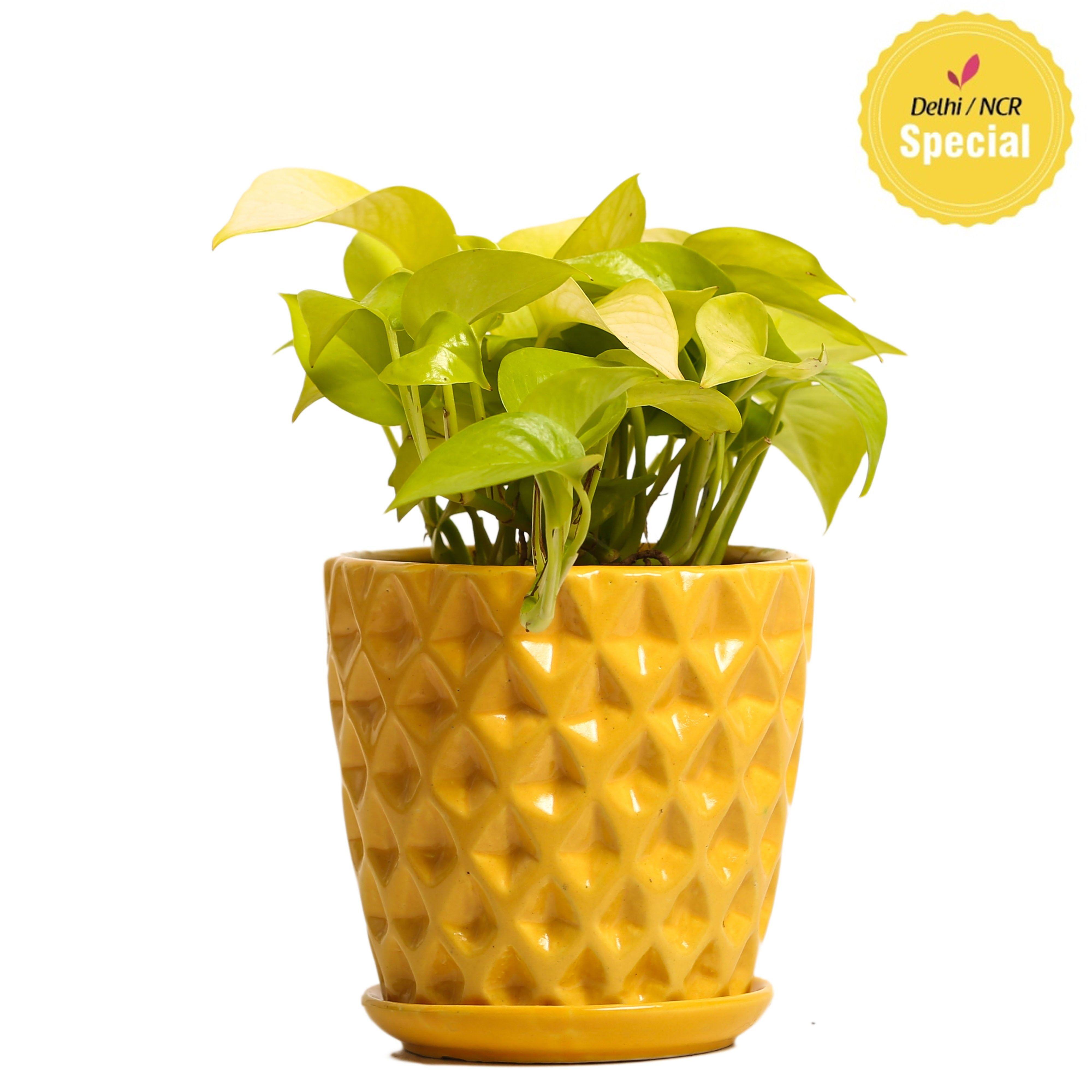 NG- Indoor Plant Golden Pothos Yellow Ceramic Pot