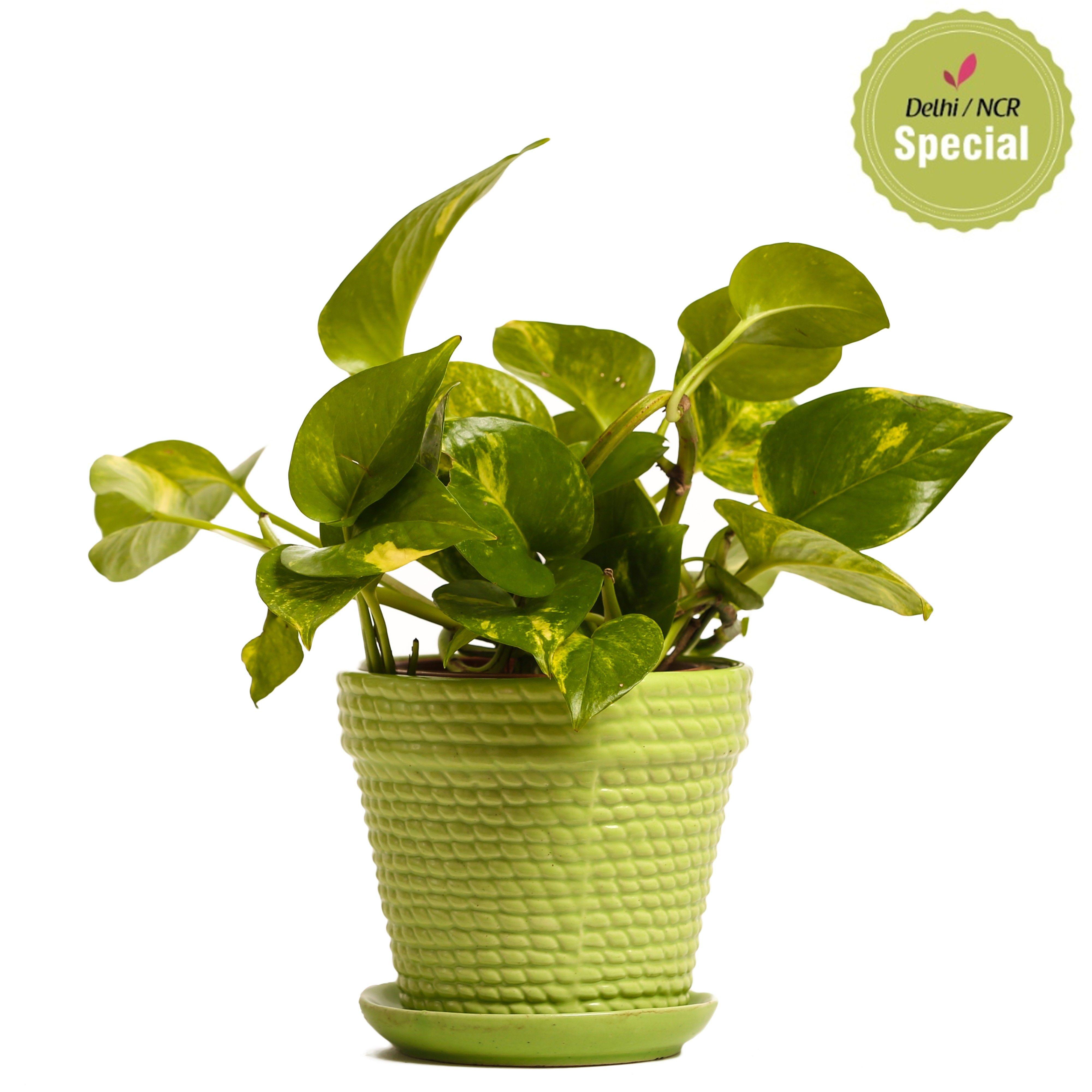 NG- Indoor Hybrid Money Plant Green Ceramic Pot