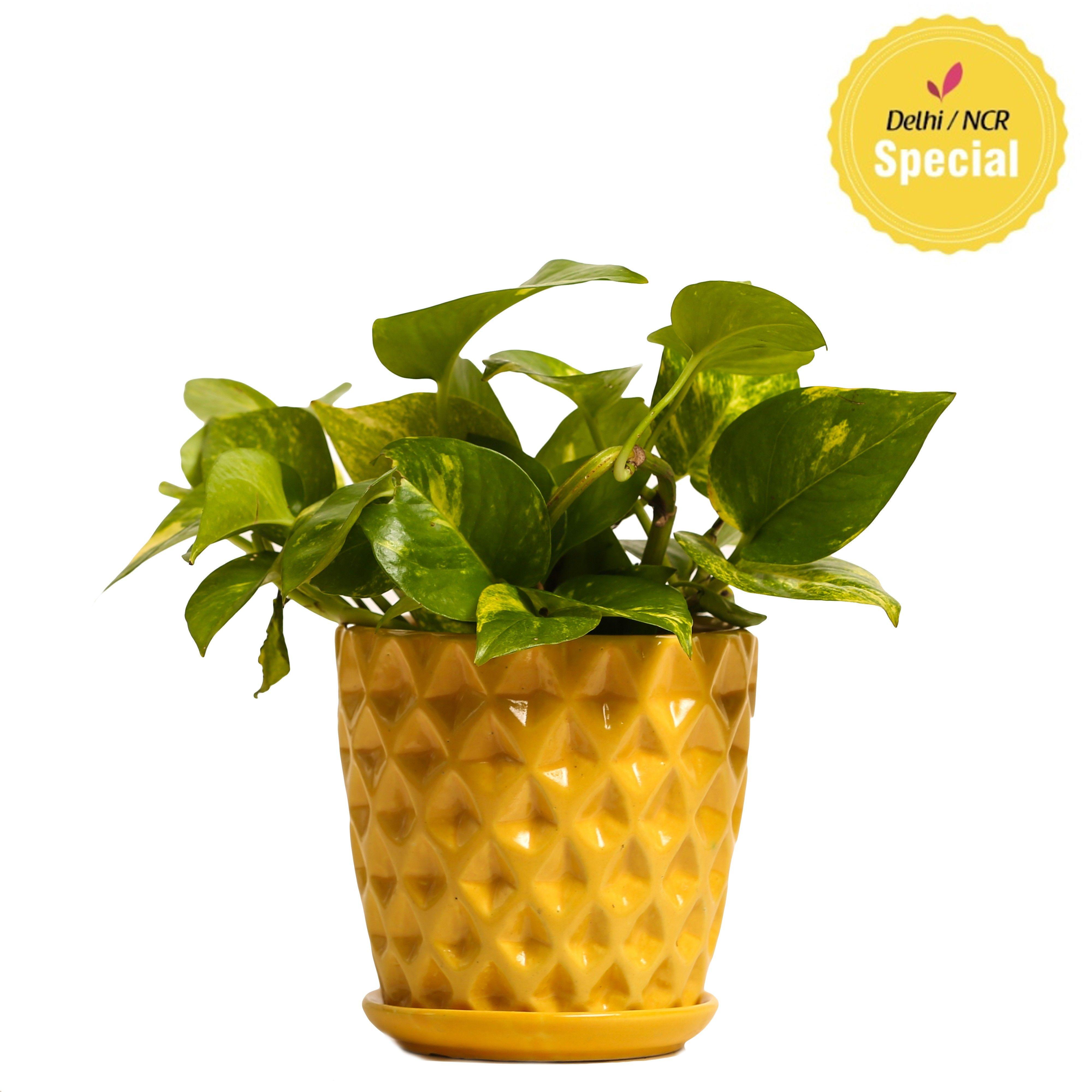 NG- Indoor Hybrid Money Plant Yellow Ceramic Pot
