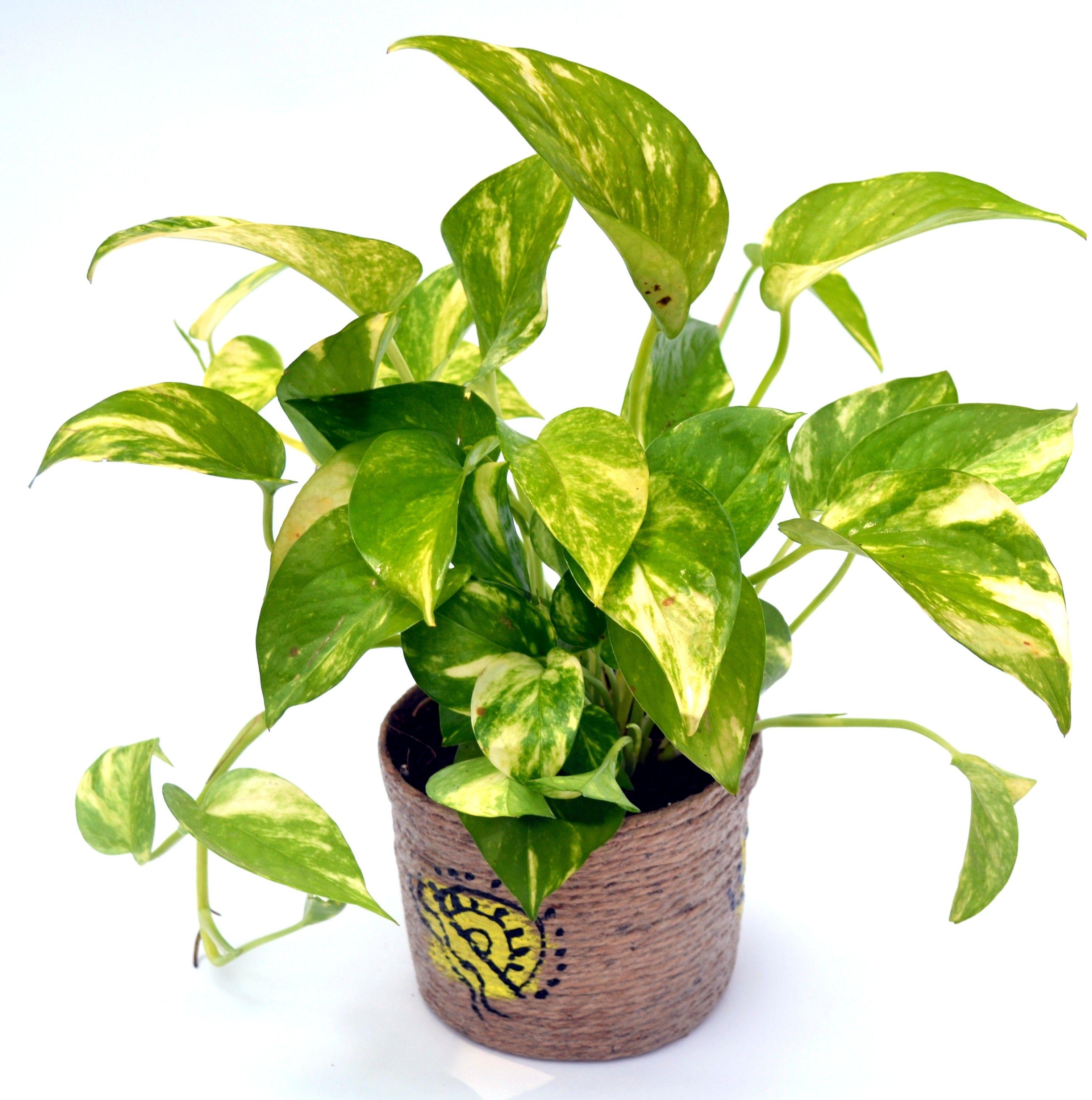 Money Plant Hybrid