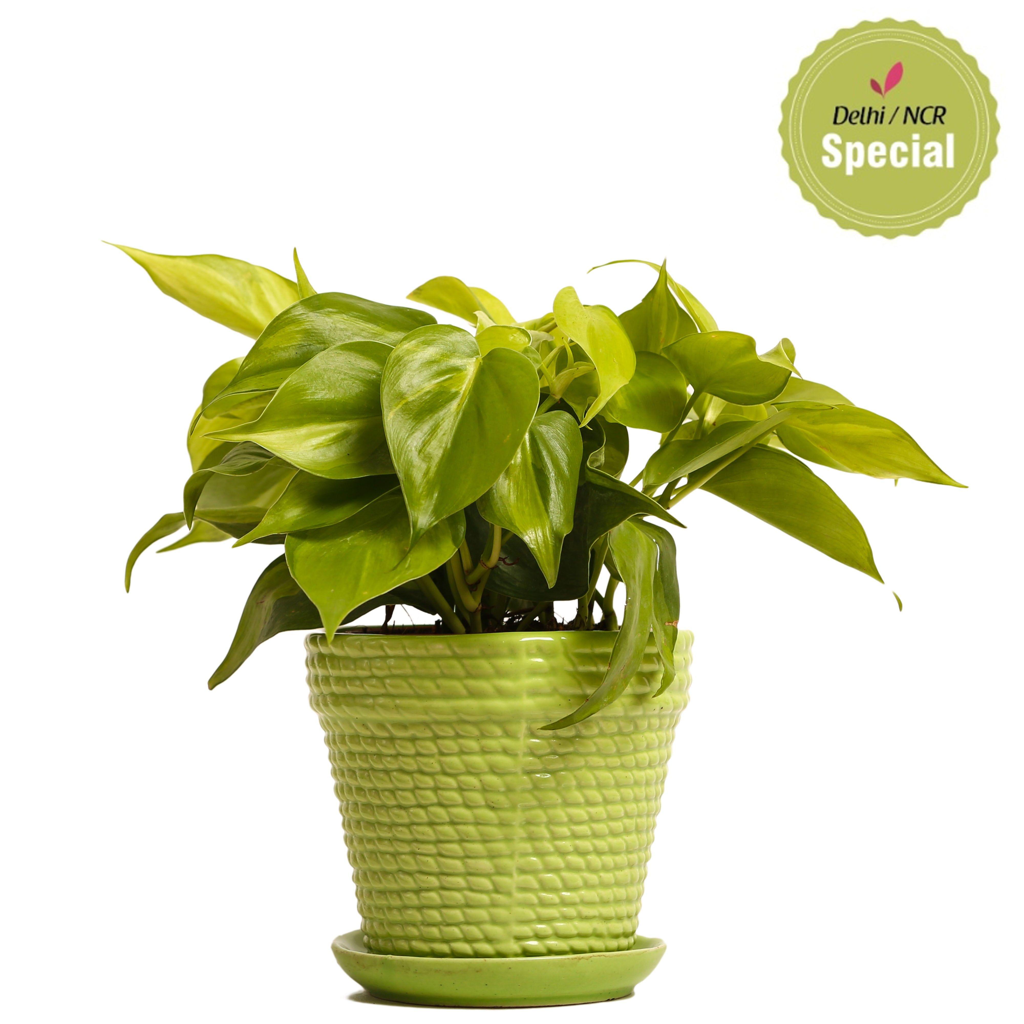 NG- Indoor Plant Oxycardium Green Ceramic Pot