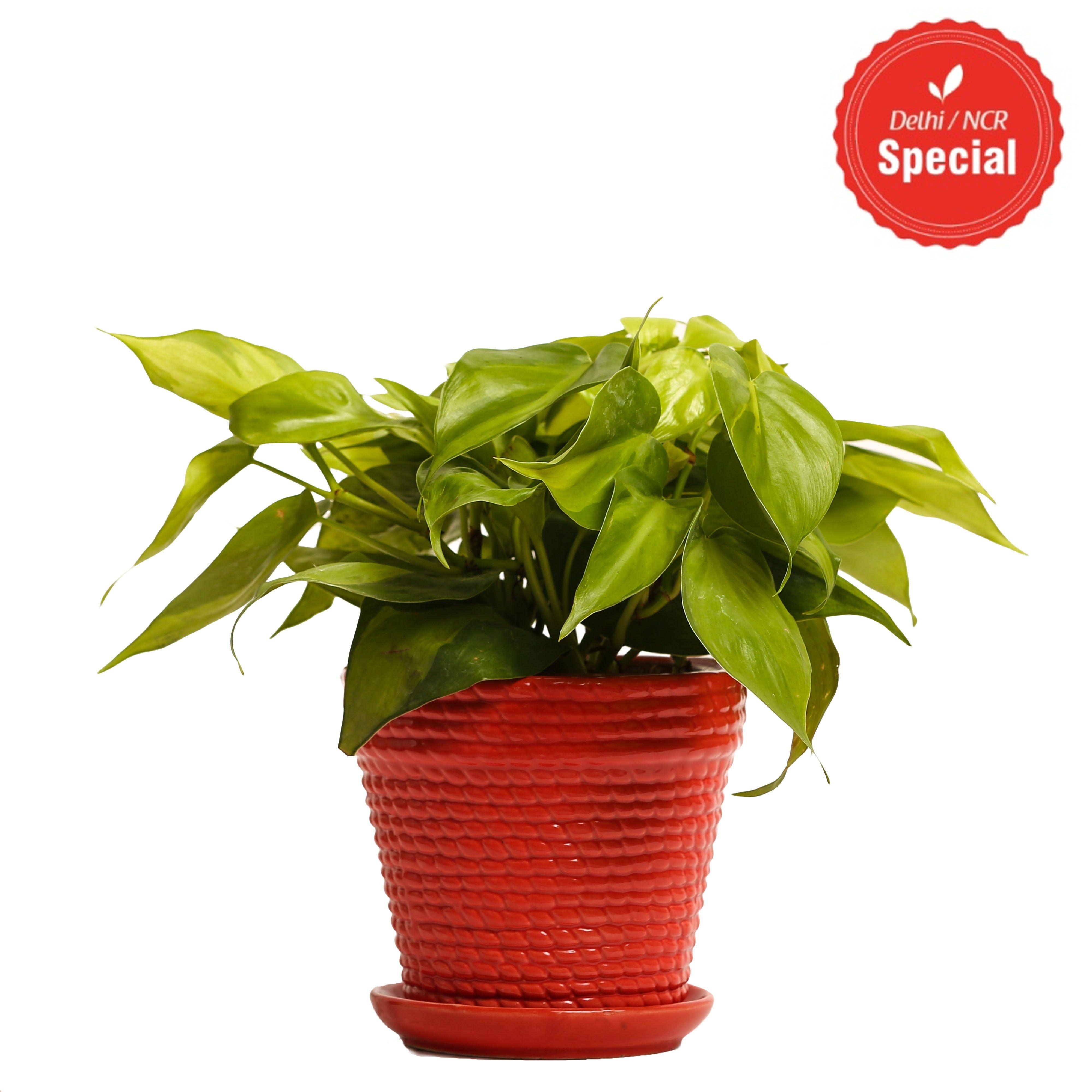 NG- Indoor Plant Oxycardium Red Ceramic Pot