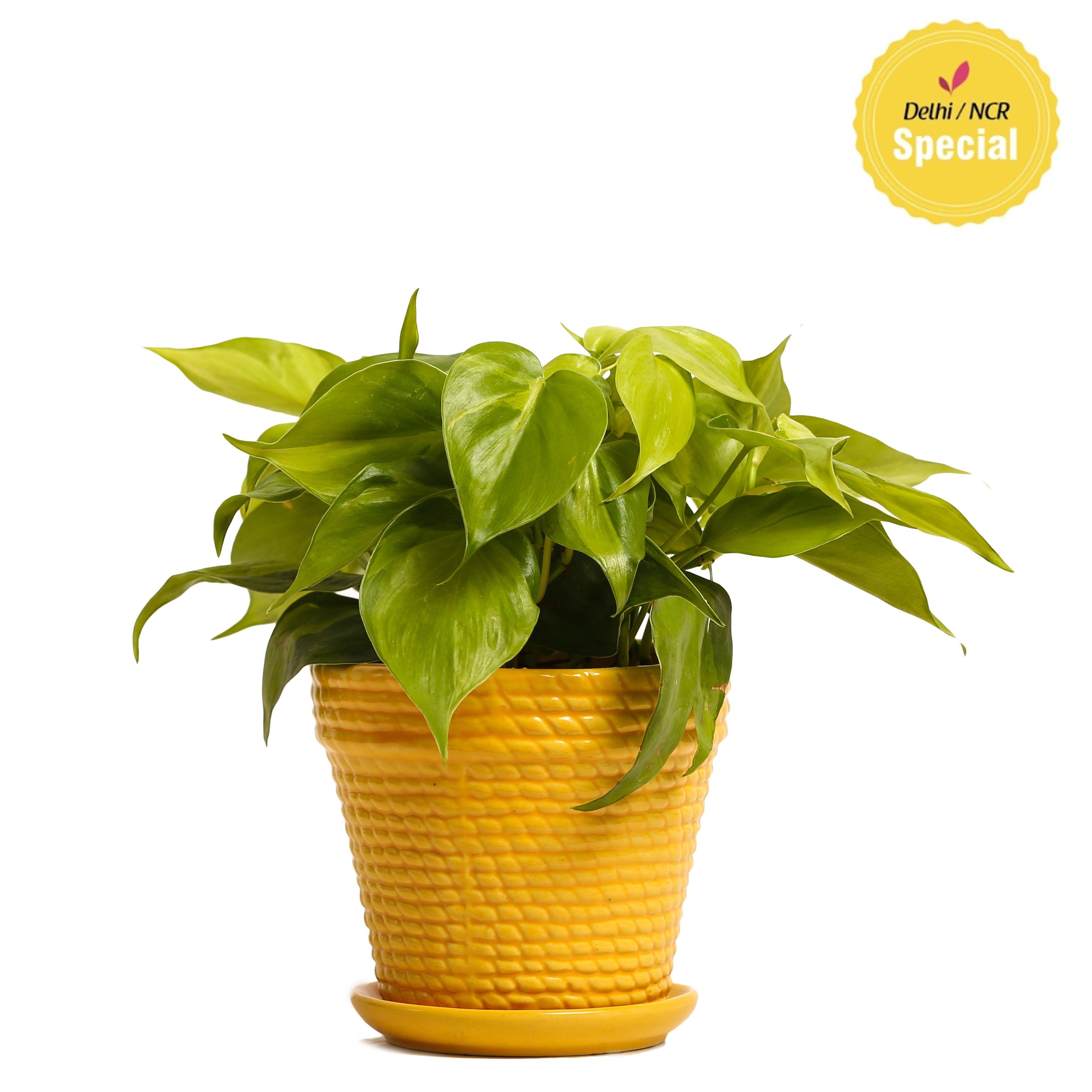 NG- Indoor Plant Oxycardium yellow Ceramic Pot