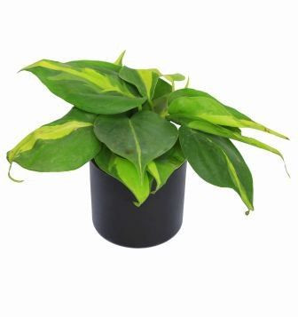 Nurturing Green Oxycardium Black Pot