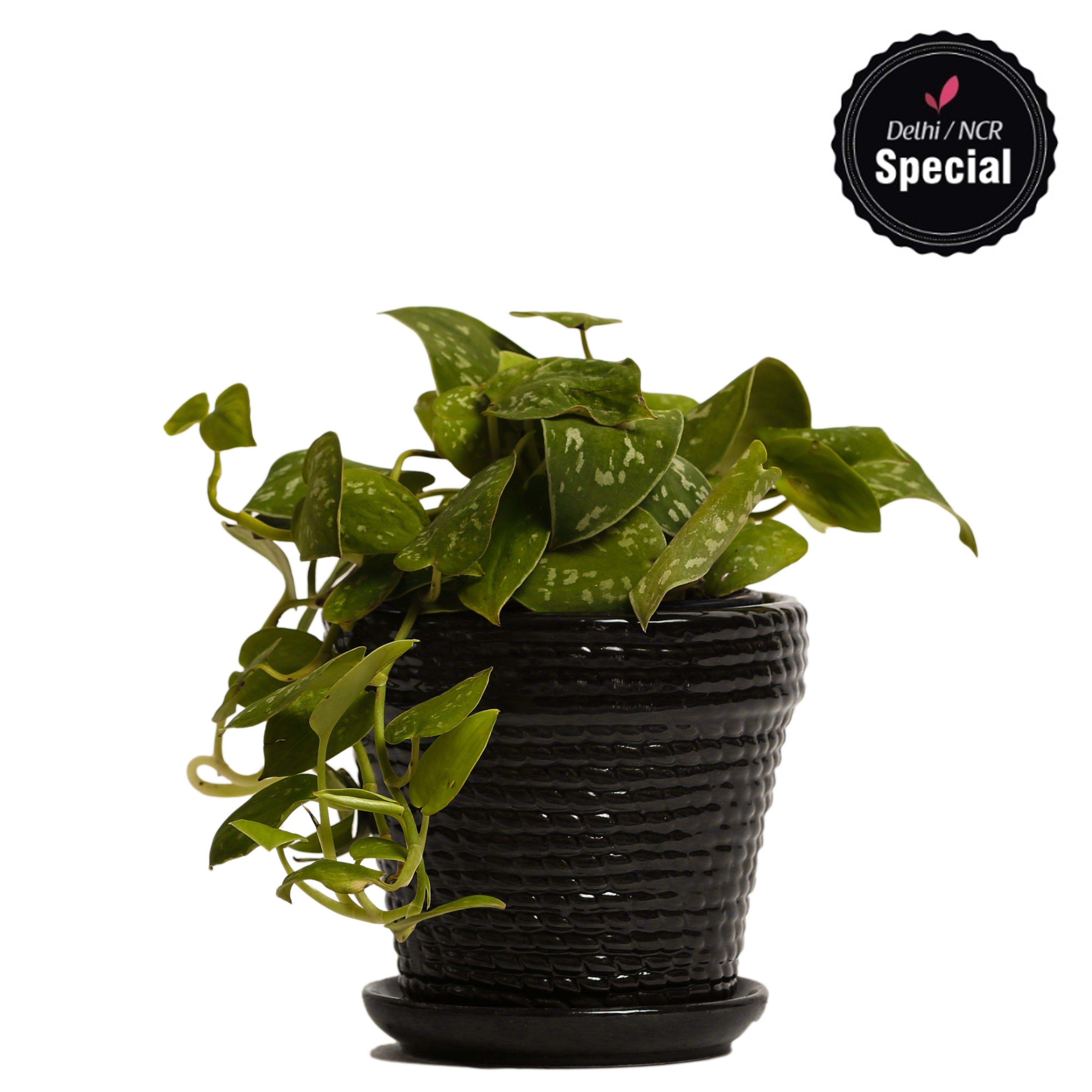 NG- Indoor Plant Silver Scindapsus Black Ceramic Pot