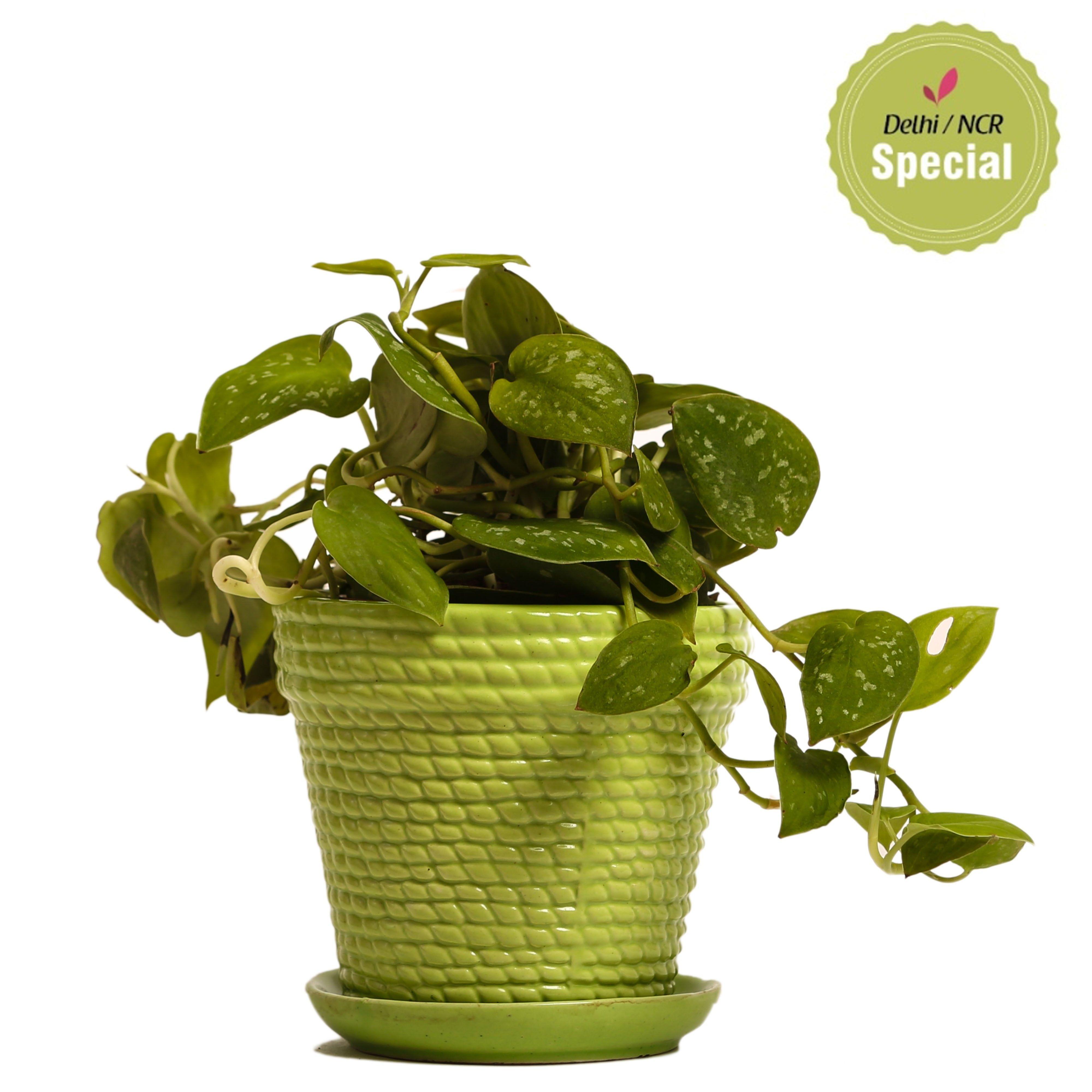 NG- Indoor Plant Silver Scindapsus Green Ceramic Pot