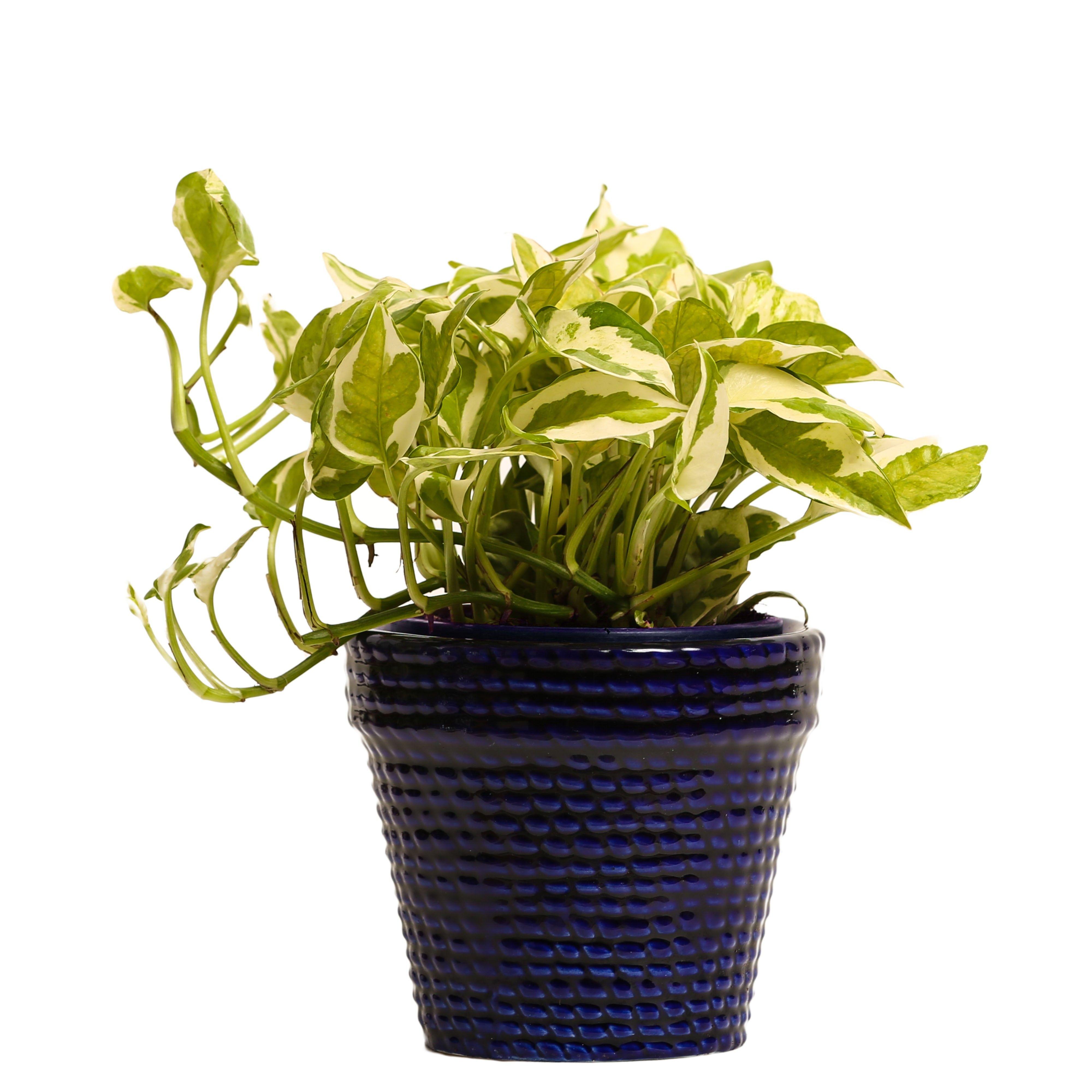 NG- Indoor Plant White Pothos Blue Ceramic Pot