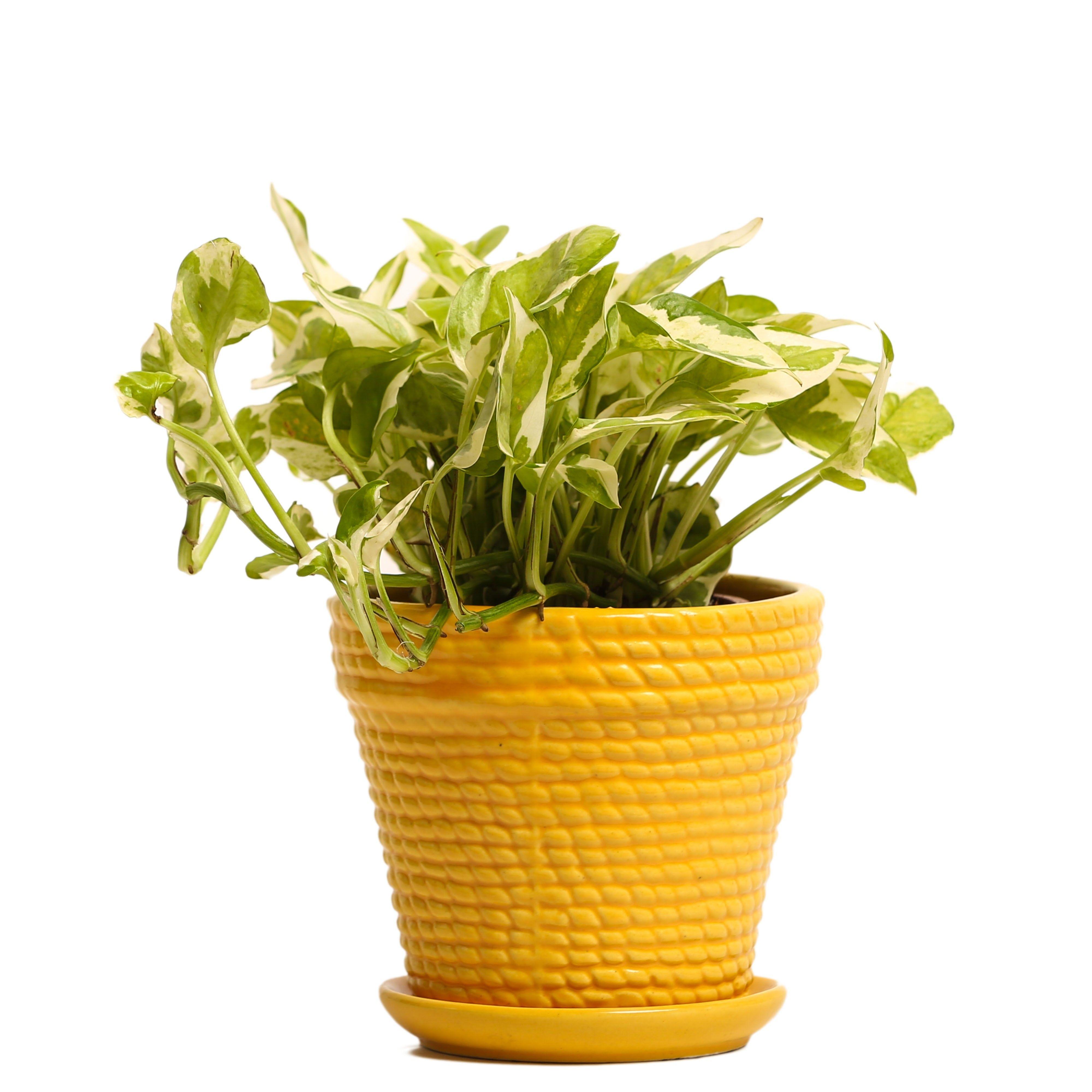 NG- Indoor Plant White Pothos Yellow Ceramic Pot