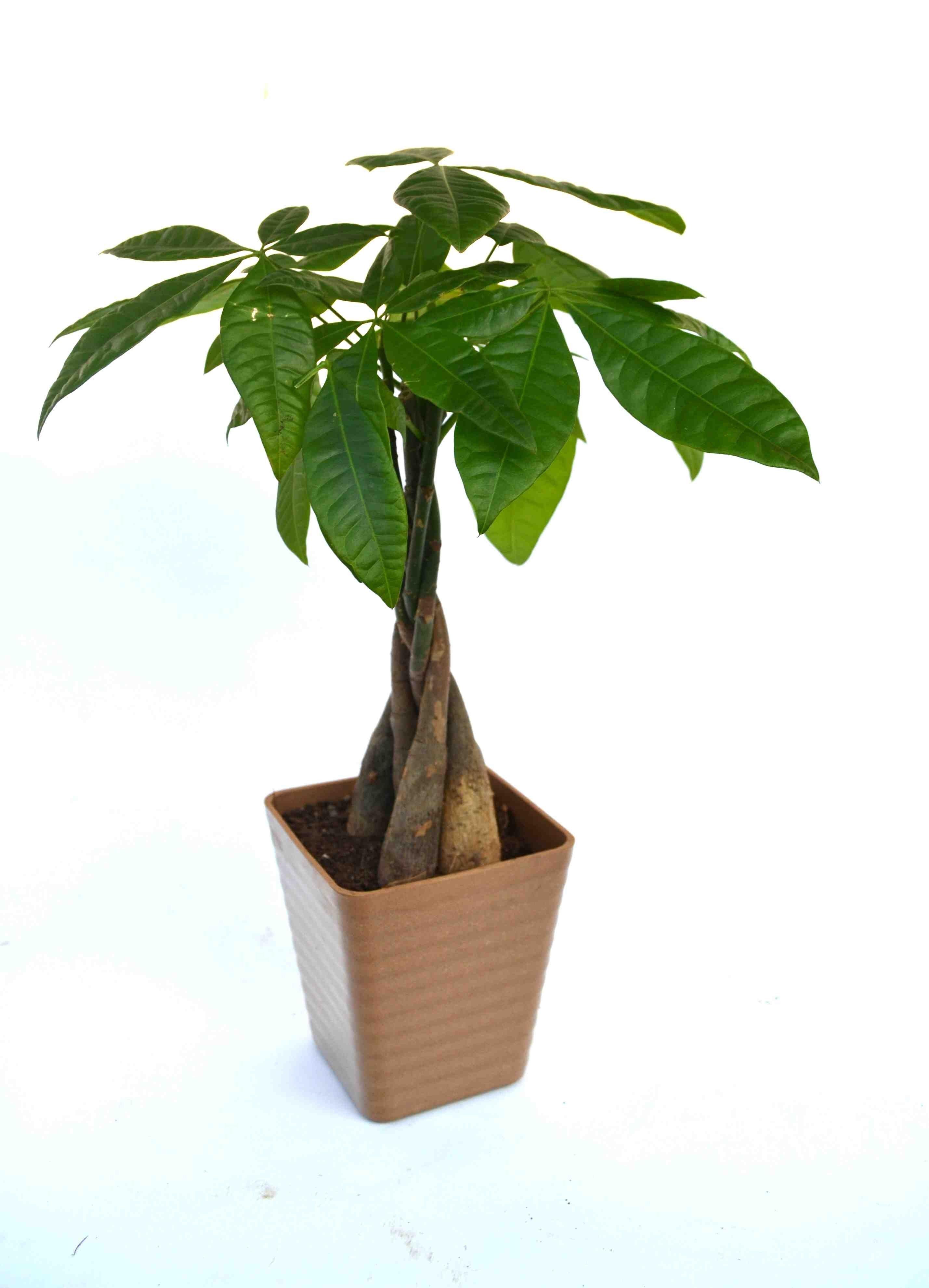 Money Tree Breaded Brown Fibre Pot