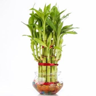 Nurturing Green Lucky Bamboo Two Layer Big round glass pot
