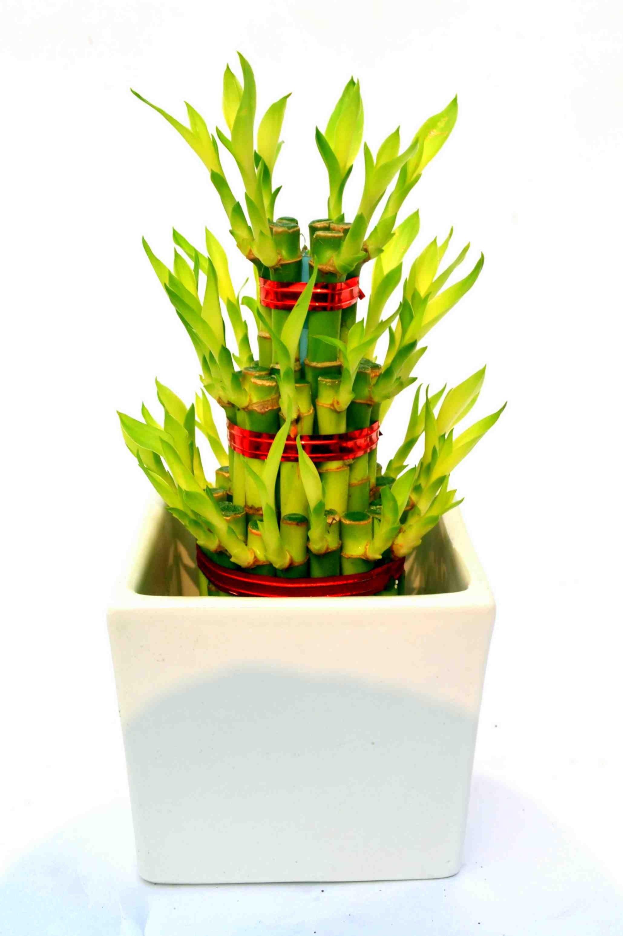 Lucky Bamboo 3 layer White ceramic Pot